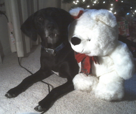 Black Labrador Lucy is a favorite among the Christmas Dog Pictures