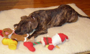 Chico with Christmas Dog Toys - Best Holiday Dog Pictures winner 2006