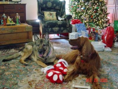 Sally wins 1st Runner-Up for Guido and Annie at Christmas in the Best Holiday Dog Picture contest